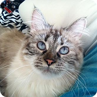 Ragdoll Cat for adoption in Columbus, Ohio - Little Kitty