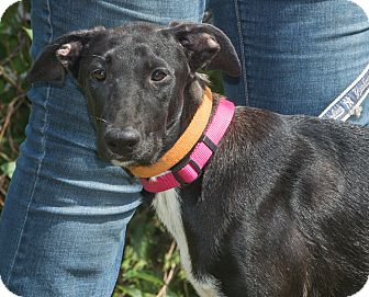 Labrador Retriever Mix Dog for adoption in Elmwood Park, New Jersey - Lulu