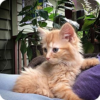 Domestic Mediumhair Kitten for adoption in Gainesville, Florida - Buster