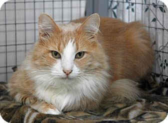 Domestic Longhair Cat for adoption in Winchendon, Massachusetts - Colby