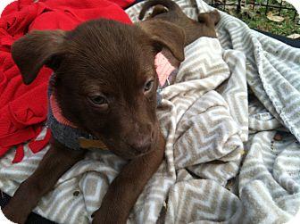 Schipperke/Sheltie, Shetland Sheepdog Mix Puppy for adoption in Boerne, Texas - Carlie