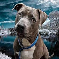 Pit Bull Terrier Dog for adoption in Fairfield, California - GLORIA