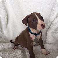 Adopt A Pet :: Artemis - PORTLAND, ME