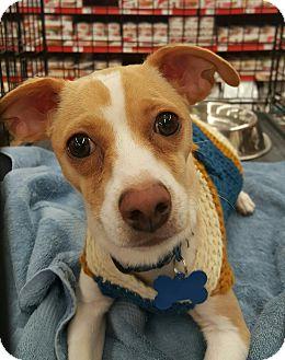 Greyhound/Chihuahua Mix Dog for adoption in Las Vegas, Nevada - quinn