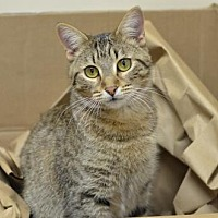 Domestic Shorthair Cat for adoption in Atlanta, Georgia - Charlize	162020