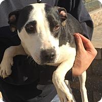 Adopt A Pet :: Teela - Barnegat, NJ