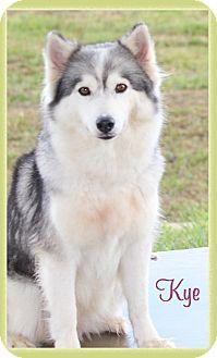Husky Mix Dog for adoption in Hillsboro, Texas - Kye