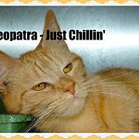 Adopt A Pet :: Cleopatra - Greenville, OH