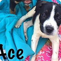 Adopt A Pet :: Ace - Smithtown, NY