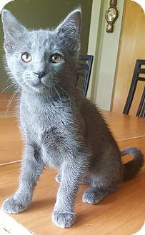 Russian Blue Kitten for adoption in Oakland, Michigan - Misty