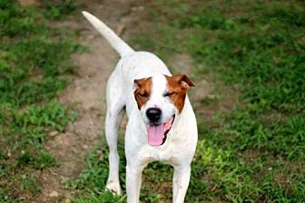 Pointer Mix Dog for adoption in Andover, Connecticut - DILLON