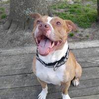 Adopt A Pet :: Kush - La Plata, MD