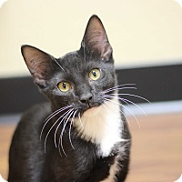 Domestic Shorthair Kitten for adoption in Richmond, Virginia - Roo