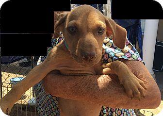Shepherd (Unknown Type) Mix Puppy for adoption in Mesa, Arizona - SADIE 10 WK SHEPHERD