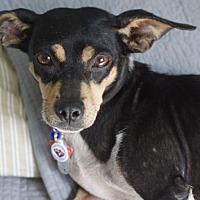 Adopt A Pet :: Tria - Holly Springs, NC