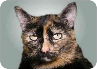 Domestic Shorthair Cat for adoption in Montgomery, Illinois - Luci