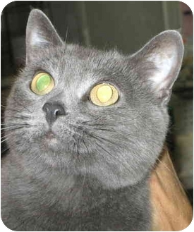 Chartreux Cat for adoption in Alden, Iowa - Smiley
