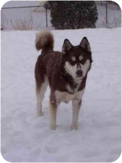 Siberian Husky Dog for adoption in Belleville, Michigan - Lobo--CAT OK!