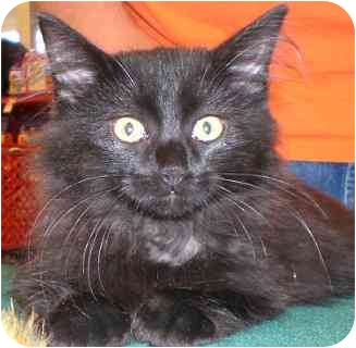 Domestic Longhair Kitten for adoption in Lombard, Illinois - Furball