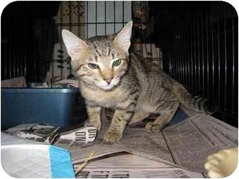 Domestic Shorthair Kitten for adoption in Brooklyn, New York - Julio