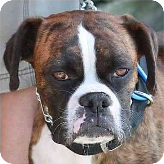 Boxer Dog for adoption in Berkeley, California - Grace Kelly