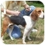 Photo 4 - Beagle Puppy for adoption in North Judson, Indiana - Elmo