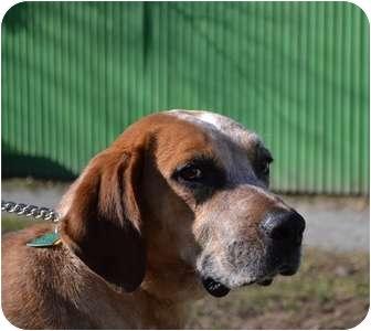 German Shorthaired Pointer Mix Dog for adoption in Manhasset, New York - Winnie