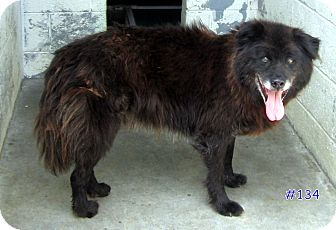 Chow Chow Mix Dog for adoption in Floyd, Virginia - URGENT - AT POUND #134