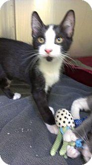 Domestic Shorthair Cat for adoption in Richboro, Pennsylvania - David Schwimmer