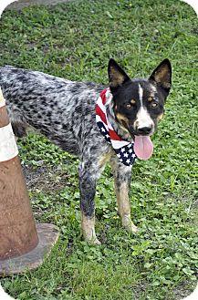 Blue Heeler Mix Dog for adoption in Corpus Christi, Texas - Cowboy