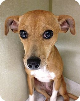 Chihuahua/Jack Russell Terrier Mix Dog for adoption in Gainesville, Florida - Colette