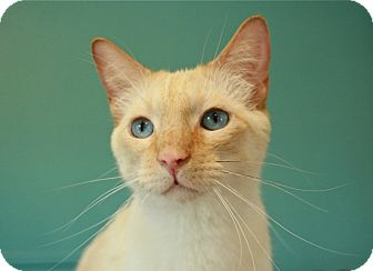 Siamese Cat for adoption in Coronado, California - Griffin