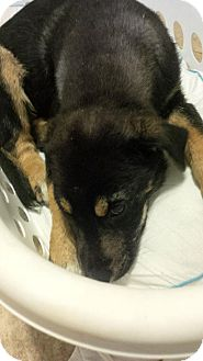 German Shepherd Dog/Australian Shepherd Mix Puppy for adoption in Hammonton, New Jersey - firefly