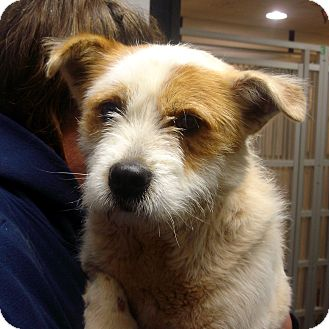 Airedale Terrier/Jack Russell Terrier Mix Dog for adoption in Greencastle, North Carolina - Herman