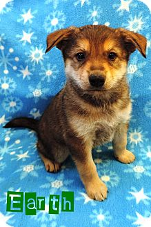German Shepherd Dog/Husky Mix Puppy for adoption in Brookings, South Dakota - Earth