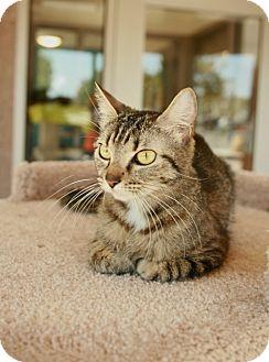 Domestic Shorthair Cat for adoption in Coronado, California - Libby