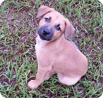 German Shepherd Dog/Black Mouth Cur Mix Puppy for adoption in Weeki Wachee, Florida - Molly
