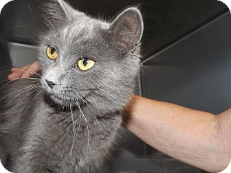 Domestic Mediumhair Cat for adoption in Thomaston, Georgia - Apache Chief