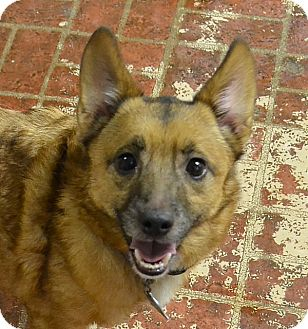 Pomeranian/Jack Russell Terrier Mix Dog for adoption in Albion, New York - Buddha