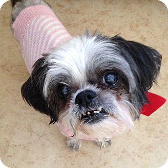 Shih Tzu Mix Dog for adoption in Las Vegas, Nevada - Mitzi