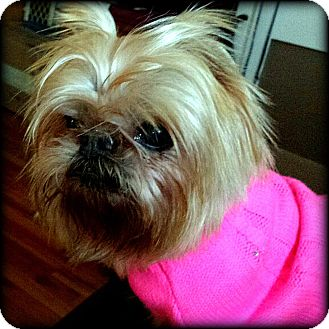 Brussels Griffon Dog for adoption in Seymour, Missouri - PHOEBE in Fillmore, MO.