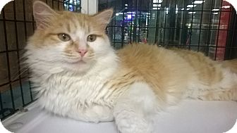 Domestic Mediumhair Cat for adoption in Cary, North Carolina - Marshmallow
