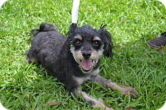 Yorkie, Yorkshire Terrier/Schnauzer (Miniature) Mix Dog for adoption in Miami, Florida - Gigi