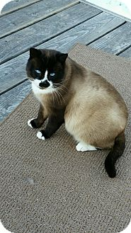 Siamese Cat for adoption in Cardwell, Montana - Butterball