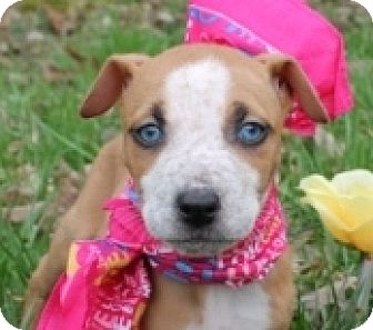 Pit Bull Terrier/Cattle Dog Mix Puppy for adoption in Allentown, Pennsylvania - Wallaby