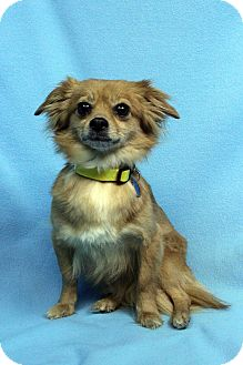 Pomeranian/Chihuahua Mix Dog for adoption in Westminster, Colorado - Delilah