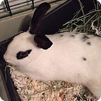 Adopt A Pet :: Starr - Maple Shade, NJ