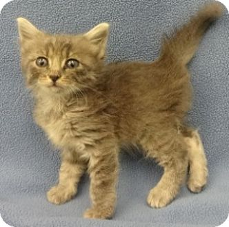 Domestic Shorthair Kitten for adoption in Olive Branch, Mississippi - Lewis