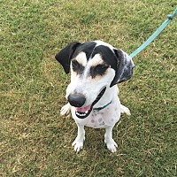 Dalmatian/English Pointer Mix Dog for adoption in Lockhart, Texas - Rocky