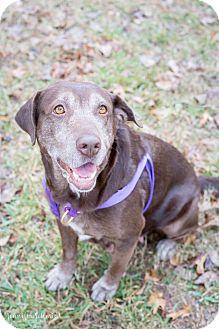 Labrador Retriever Mix Dog for adoption in Vancouver, British Columbia - Emma